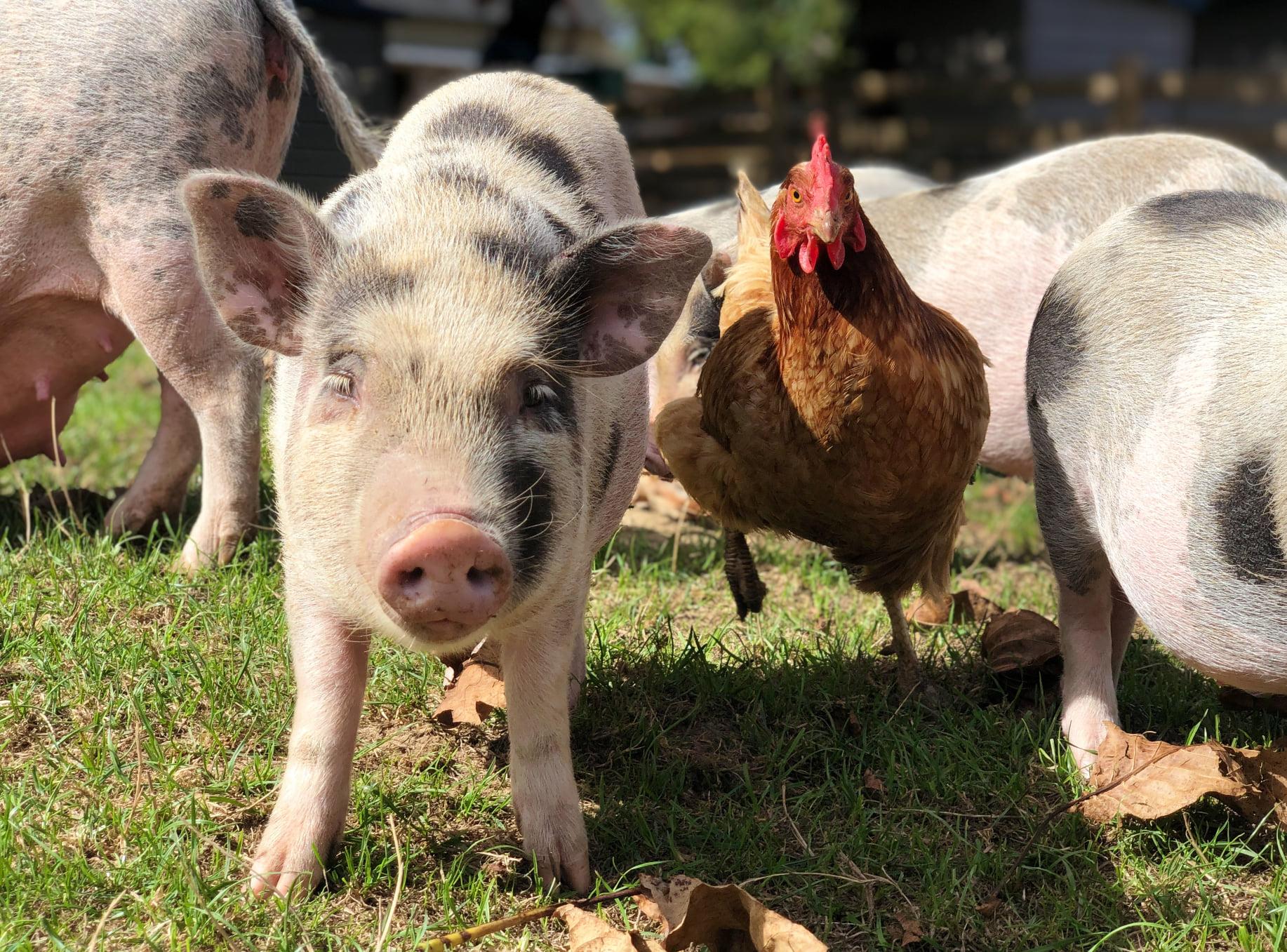 Ron le cochon et Elsie la poule